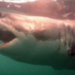 tiburon-blanco-perfil