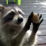 mapache-toca-puerta-para-pedir-comida